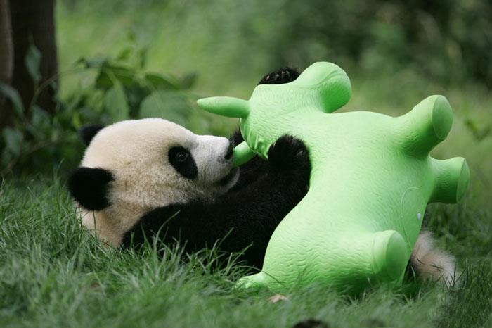 Детеныш панды с игрушкой.