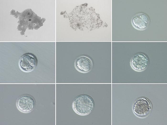 Ученые сообщили, что им удалось получить два эмбриона носорога.