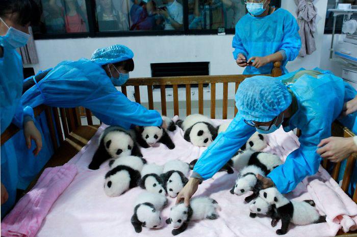 Сотрудники исследовательского центра в Ченду помогают выжить каждому детенышу.