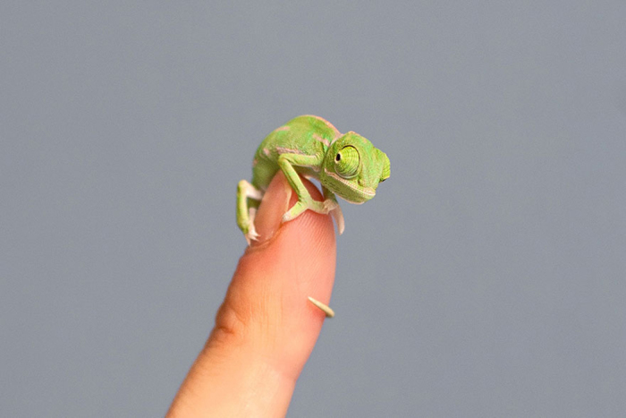 Мега-милая рептилия.