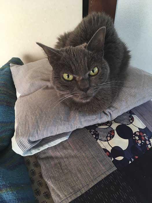 На самом деле Шамо - очень дружелюбная и ласковая кошка.