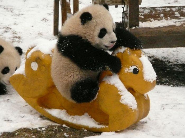 Детеныш панды развлекается.