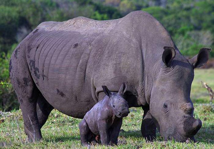 Белла и Танк - семья носорогов в одном из парков ЮАР.