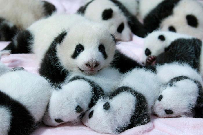 Малыши панды.