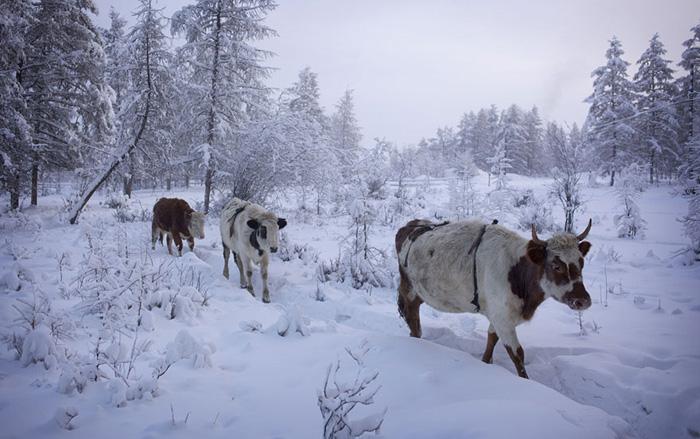 Коровы в Оймяконе.