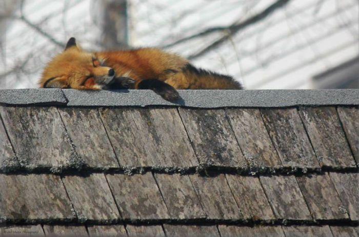 Зверьки забираются на крышу сарая  и проводят там весь день.