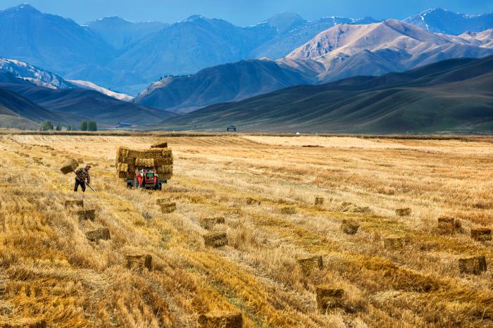 Фермер собирает сено в Китае. 3 октября 2015г.
