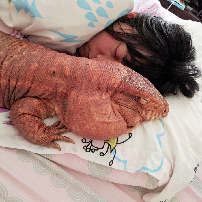 Иногда тегу даже спит рядом со своими хозяевами.
