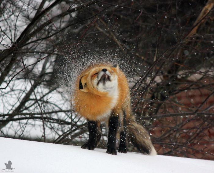 Красивые пушистые лисицы не смущаются от такого близкого соседства с человеком.