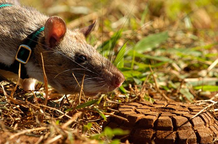 Бельгийская программа позволяет обучить гамбийских крыс обнаруживать мины.