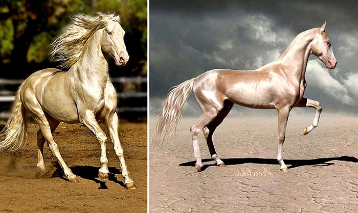 Ахалтекинские лошади.