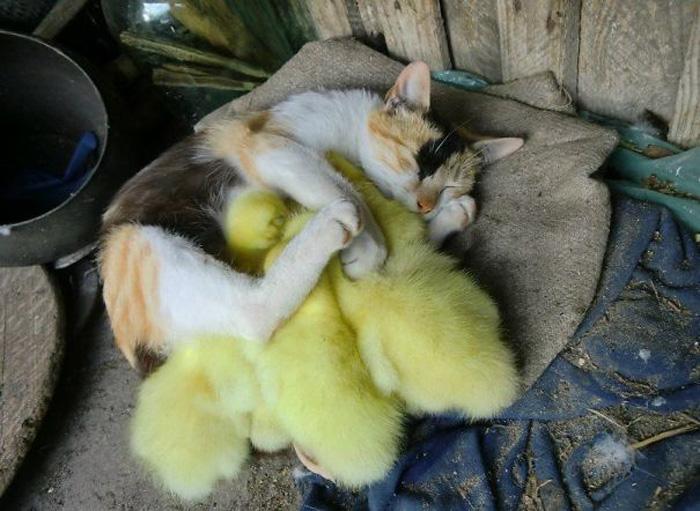 Кошка с цыплятами.