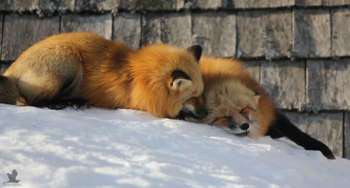 Зимние лисы из Канады.