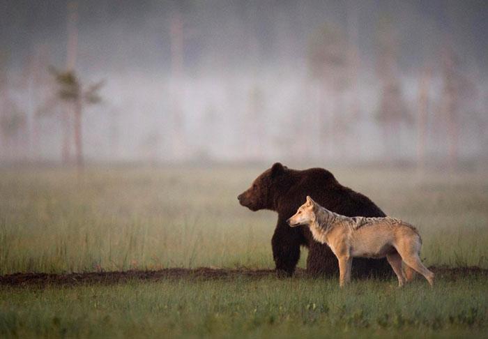 Редкая дружба в дикой природе. Автор фото: Lassi Rautiainen.