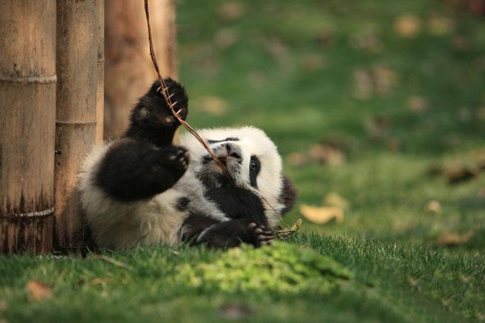 Маленькие панды чувствуют себя комфортно в центре.