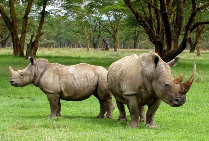 Последние особи северного белого носорога, оставшиеся в живых.