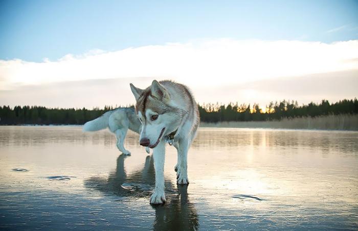 Сибирский хаски на замерзшем озере.