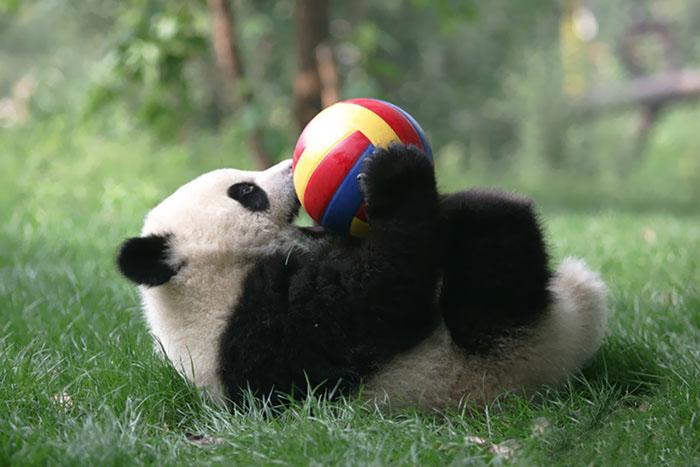 Панда в научно-исследовательском центре Ченду.