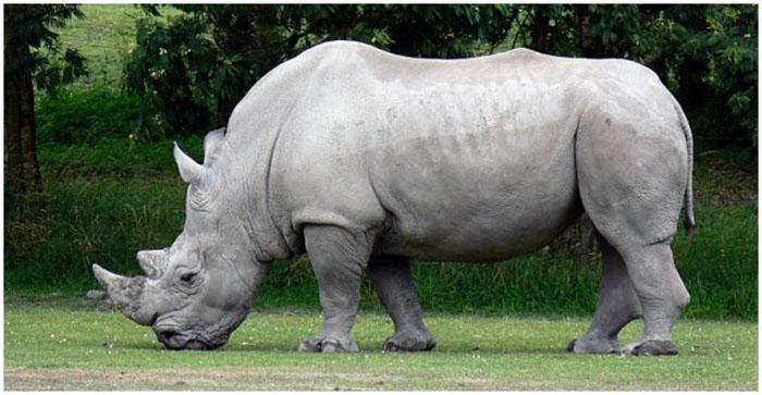 Исчезающий вид носорога.