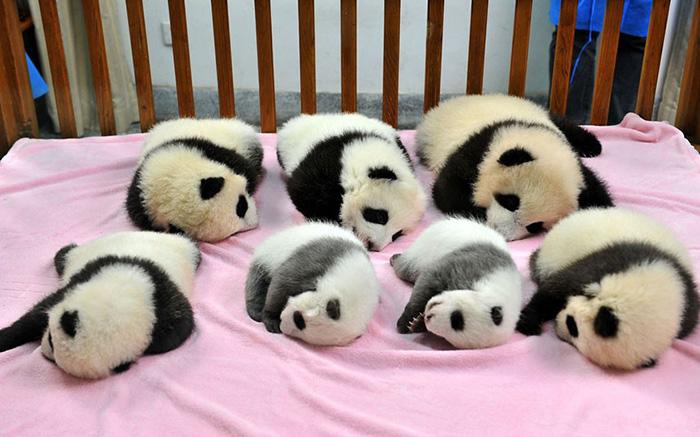 Ясли для детенышей панд.