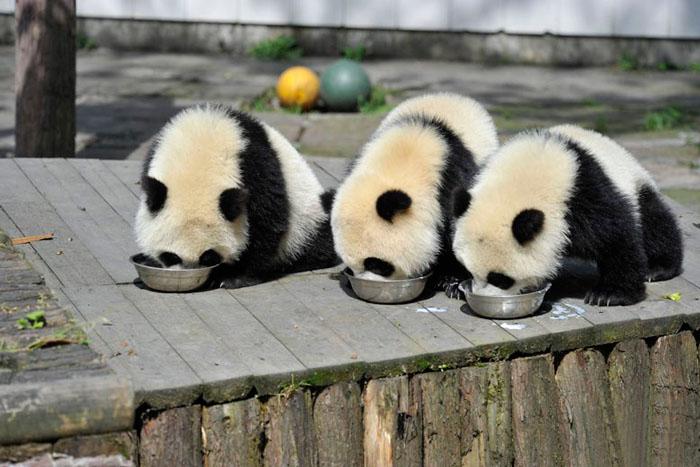 Детеныши гигантской панды.