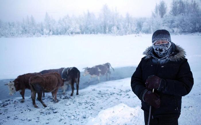 Коровы в Якутии зимой гуляют на улице.