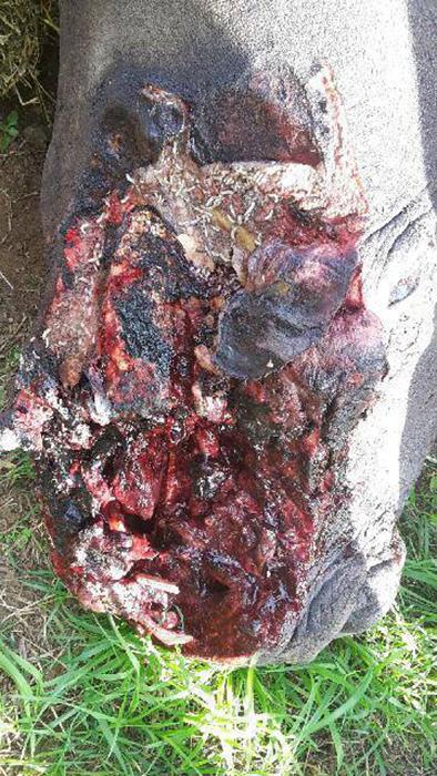 Браконьеры вырвали рог с мясом у одного из носорогов Африки.