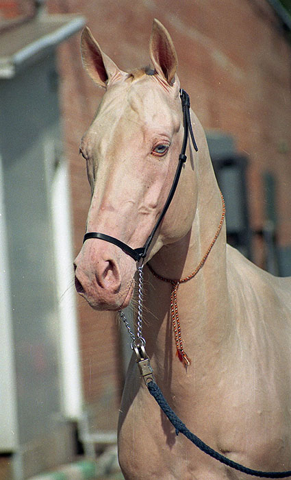У большинства ахалтекинских лошадей глаза голубого цвета.