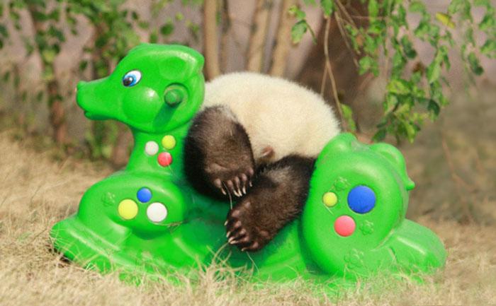 Маленькие панды.