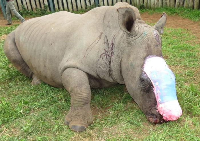 Редко какому носорогу удается пережить нападение браконьеров.
