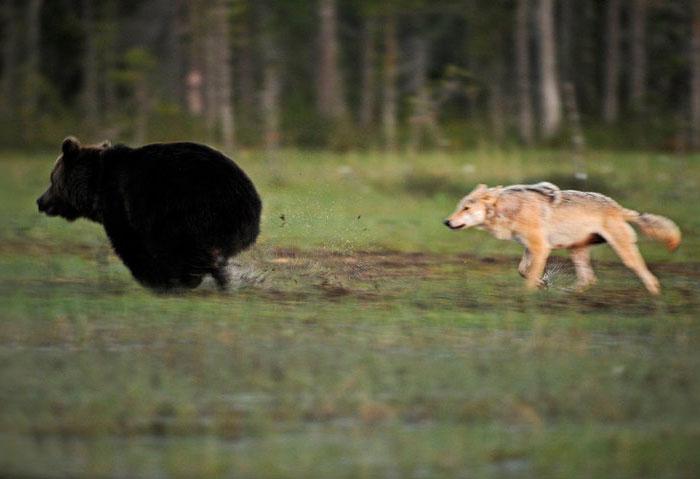 Игра в салочки. Автор фото: Lassi Rautiainen.