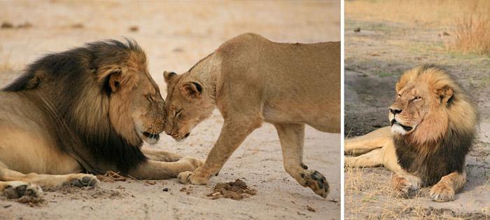 Убийца льва Сесила рассказал о возобновлении