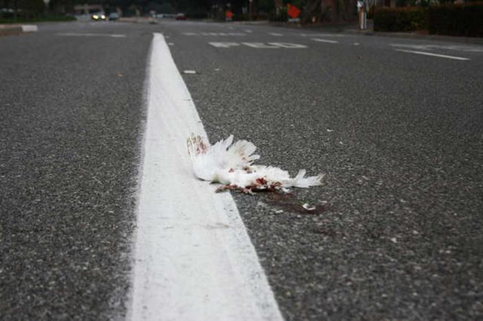 Большинство потерянных белых голубей гибнет.