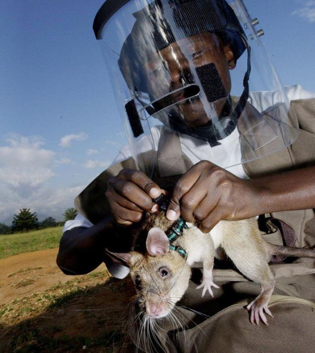 Гамбийские сумчатые крысы на службе.
