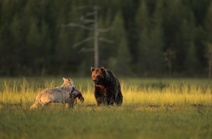 Никогда раньше в европейской природе не наблюдали, чтобы медведь и волк жили рядом. Автор фото: Lassi Rautiainen.