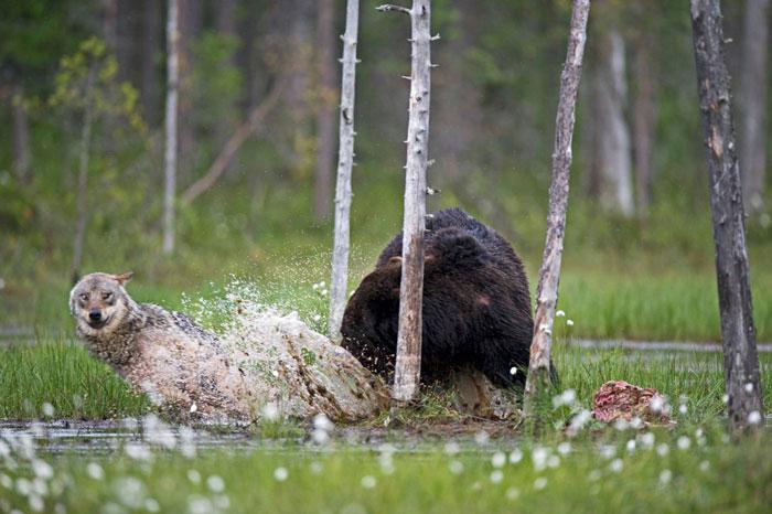 Оба хищника вели себя совершенно дружелюбно по отношению друг к другу. Автор фото: Lassi Rautiainen.