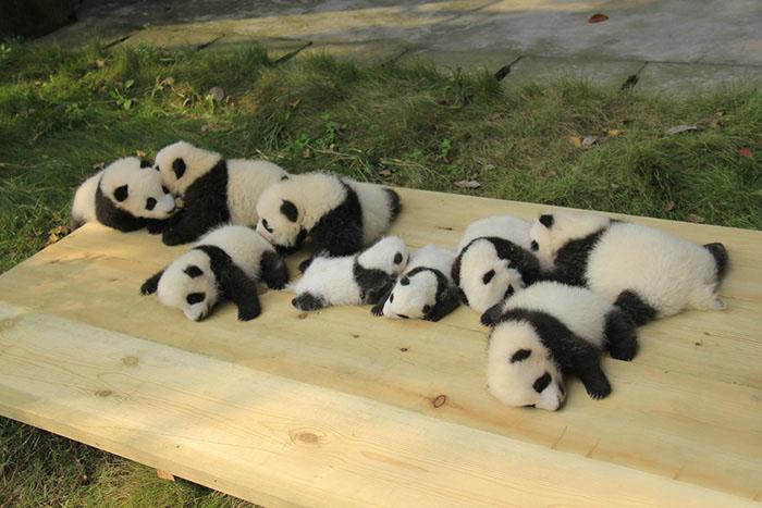 Научно-исследовательский центр в Ченду пытается восстановить популяцию гигантских панд.