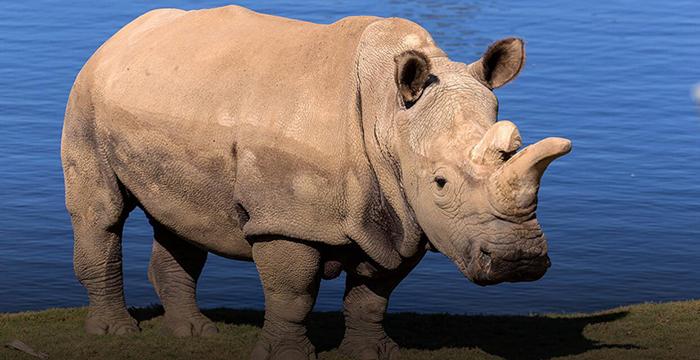 Белый носорог.
