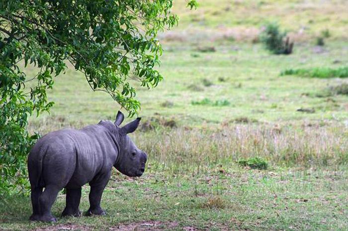 Маленький Танк пытался прибиться к другой семье носорогов после того, как его мама погибла.