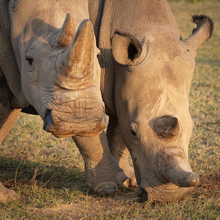 Северные белые носороги почти полностью вымерли из-за браконьерства.