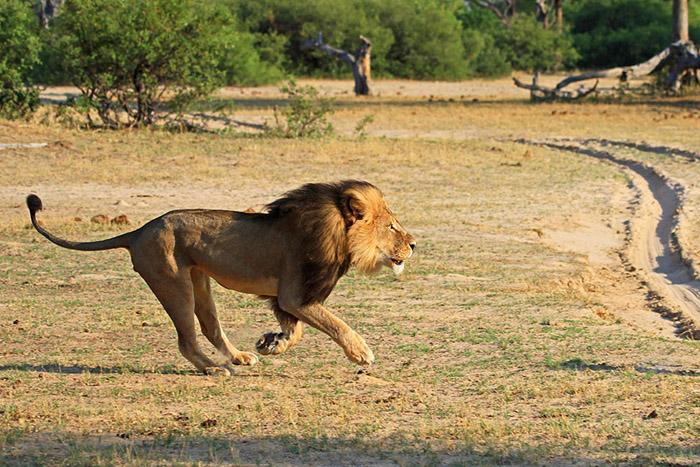 Сесил был самым известным львом в Зимбабве.