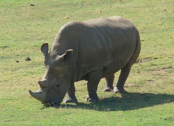 Северный белый носорог.