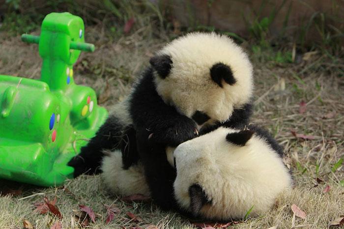 Пандам в центре обеспечен хороший уход и защита.