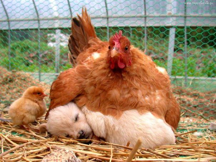 Курица с щенком.