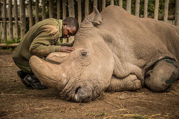 Смотритель заповедника прощается с последним в мире самцом северного белого носорога.