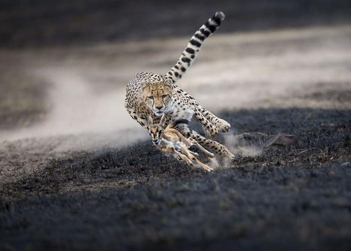 «AnAstonishing Chase». Фото: Thomas Vijayan.