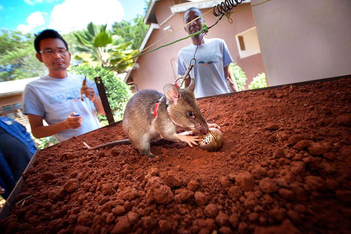 Крысы не взрываются на минах, так как максимальный вес зверька составляет всего полтора килограмма.