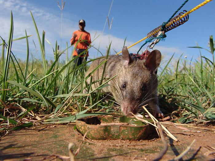 В Мозамбике всего 30 крыс обнаружили более 1500 мин.