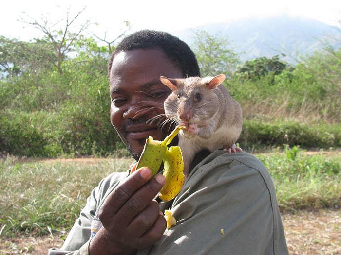 У африканских крыс хороший нюх, позволяющий им обнаружить взрывчатку.