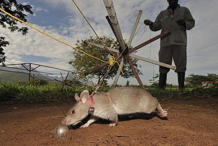 Обучение одной крысы втрое дешевле обучения собаки.